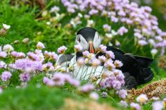 Puffin, The bird with the Colored Beak. Puffins are among the cutest birds on this planet, typical of the cold areas of the northern hemisphere, the populate the stock images