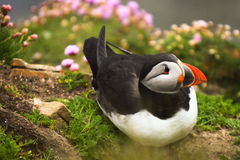 Puffin bird in the grass. Shetland Islands royalty free stock photo