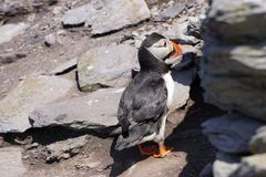 Puffin in south Ireland stock photos
