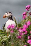 Puffin bird. Portrait of a puffin bird stood next to pink flowers Royalty Free Stock Photos
