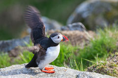 Puffin bird on a rock Stock Photo