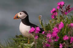 Puffin bird. Side view of a puffin bird next to colorful flowers Royalty Free Stock Photo