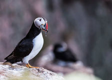 Puffin bird Royalty Free Stock Image