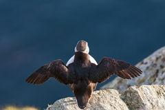 Puffin bird that sitting on a rock Royalty Free Stock Image