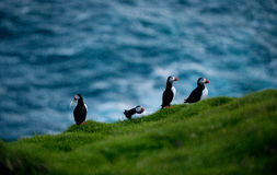 Puffin birds in Iceland Stock Photo