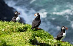 Puffin birds having a sunbath on Mykines island in Faroe Islands royalty free stock image