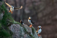 Puffin birds on rocky cliffs. Group of puffin birds stood and taking off from rocky cliffs in North East Scotland Royalty Free Stock Photography