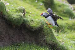 Puffin bringing fish to a nest on Shetland Island for its chicks. Puffin bringing fish caught to a nest on Shetland Island for its chicks stock photo