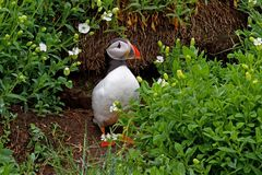 Puffin at Burrow Royalty Free Stock Image