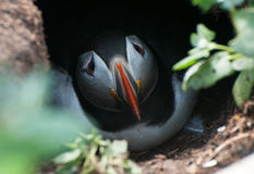 Puffin in burrow Stock Photography