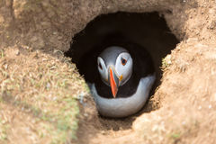 Puffin In Burrow Stock Photo