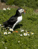 Puffin carrying Sand Eels. A puffin carrying sand eels back to it's nest, Island of Skomer Wales Royalty Free Stock Photography