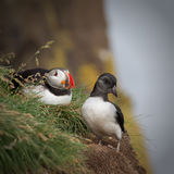 Puffin chick. Next to one of the adults royalty free stock photography