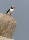 Puffin on Cliff. Atlantic Puffin atop a cliff face. Wild bird, unrestrained Stock Image