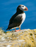 Puffin on the cliff Stock Image