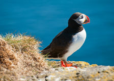 Puffin on the cliff Stock Photography