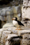 Puffin on Cliff Royalty Free Stock Images