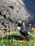 Puffin on cliff. Side view of puffin on cliff top with sea in background stock image
