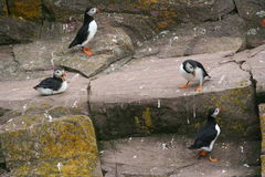 Puffin. Cliff with flock of puffin Stock Photography