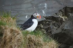 Puffin on a cliff Stock Photos