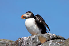 A Puffin on the cliff top. Stock Images