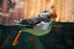Puffin. A close up of puffin Royalty Free Stock Images