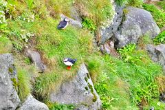 Puffin colony on a grassy cliff near Husavik stock image