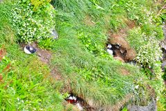 Puffin colony on a grassy cliff near Husavik stock images