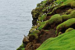 Puffin colony on the hill. Iceland Royalty Free Stock Images