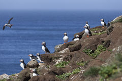 Puffin colony on the rock Royalty Free Stock Photos