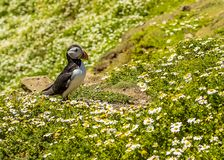 A Puffin contemplates the daisies on Skomer Island, Wales. A Puffin contemplates the daisies for a few seconds after landing on Skomer Island, Wales breeding Stock Images