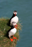 Puffin couple Royalty Free Stock Images