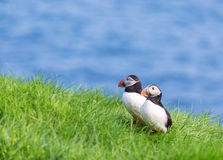 Puffin couple on Faroe islands. Royalty Free Stock Photography