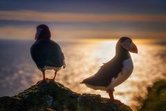 Puffin couple sunset Royalty Free Stock Photography