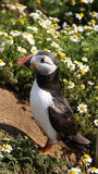 Puffin in daisy field on Skomer island stock image