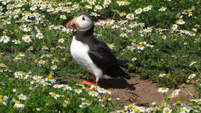 Atlantic puffin in daisy field of Skomer island Royalty Free Stock Photo