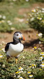 Puffin in daisy field on the wig of Skomer island Stock Images