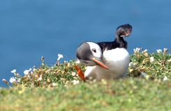 The puffin dance Stock Photo