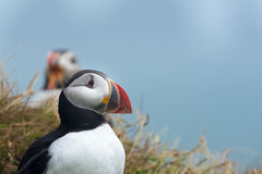 Puffin, Dyrholaey, Southern Iceland. Puffins braving the strong wind in Dyrholaey, a small peninsula/promontory (120 meters), formerly an island of volcanic stock photos