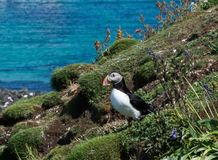 Puffin on edge of cliff amongst wildflowers in puffin colony in Hebrides Stock Photography
