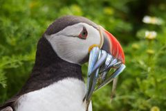 Puffin With Eels Royalty Free Stock Photo