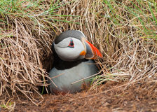 Puffin emerging from burrow Royalty Free Stock Photo