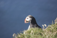 Puffin facing out to sea. Solitary puffin facing out to sea from the cliff edge Royalty Free Stock Photo