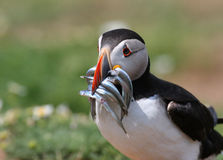 Puffin Feeding Sand Eels Fish Royalty Free Stock Photo