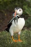 Puffin with fish. Puffin holding fish to feed young Stock Photo