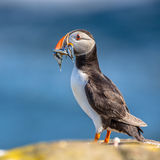 Puffin with fish in beak Stock Image
