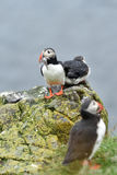 Puffin with a fish. Royalty Free Stock Photos