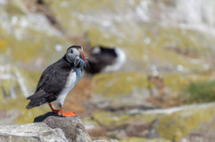 Puffin with fish Stock Photos
