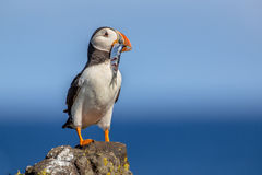 Puffin with fish Stock Image