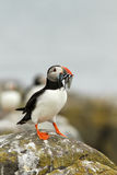 Puffin with fish in its beak. Animals: Puffin with fish in its beak Royalty Free Stock Images